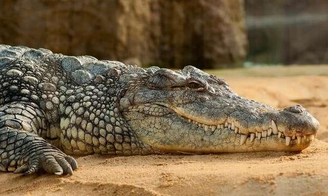 crocodile on lake shore