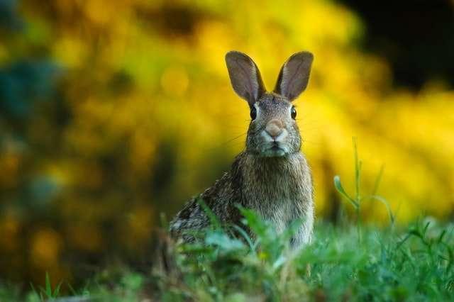 rabbit eating grass