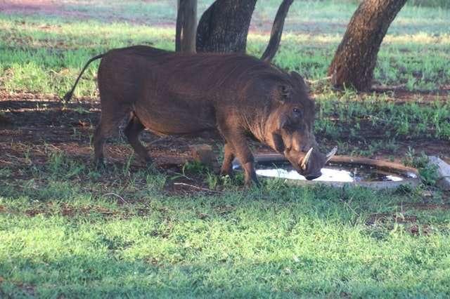 wild boar in a field