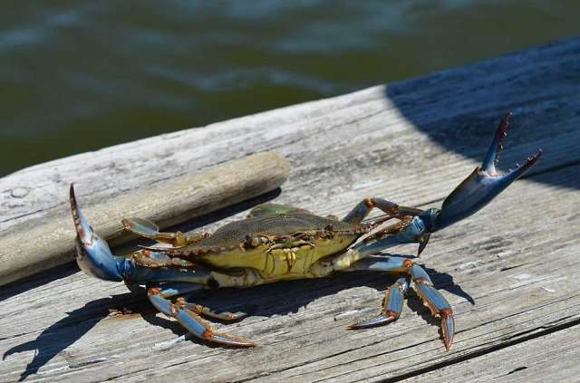 Blue Crab outside on a board walk
